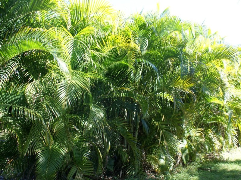 areca palm for sale mulch masters jacksonville fl
