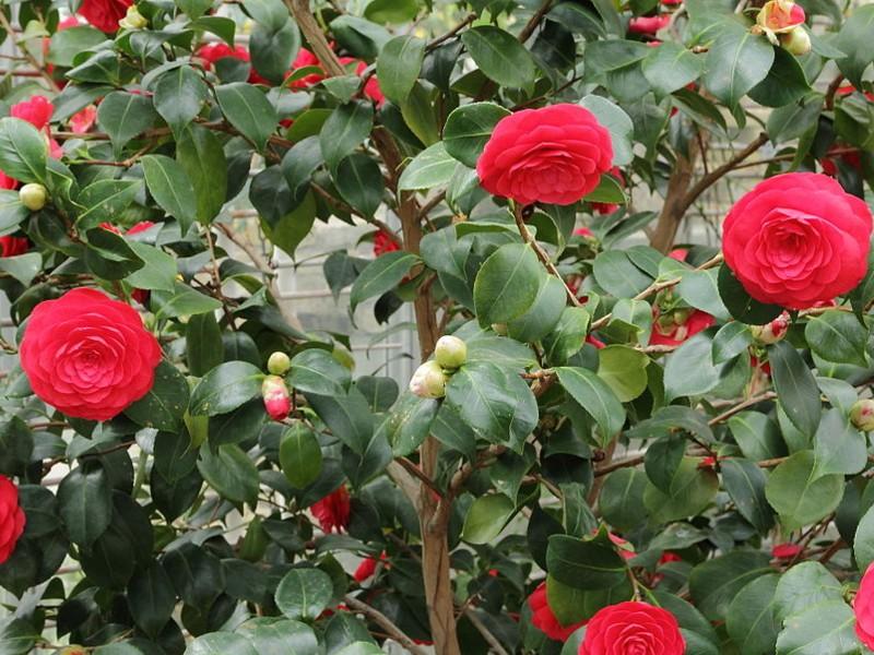camellia japonica for sale mulch masters jacksonville fl. Black Bedroom Furniture Sets. Home Design Ideas