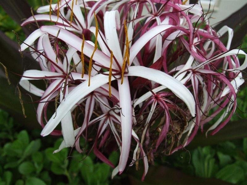 Crinum Lily Giant Red