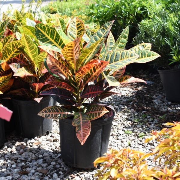 Croton For Sale, Mulch Masters Jacksonville FL