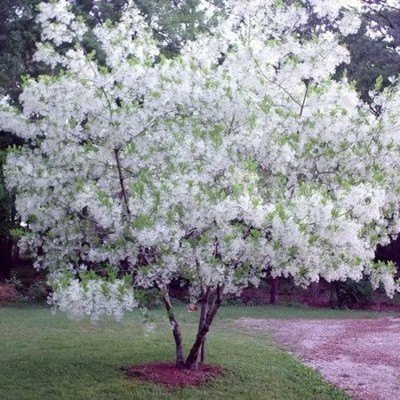 Fringe Trees For Sale Mulch Masters Jacksonville Fl