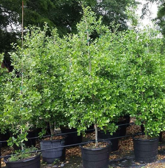 Holly East Palatka For Sale Mulch Masters Jacksonville Fl
