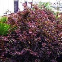 Loropetalum Plum