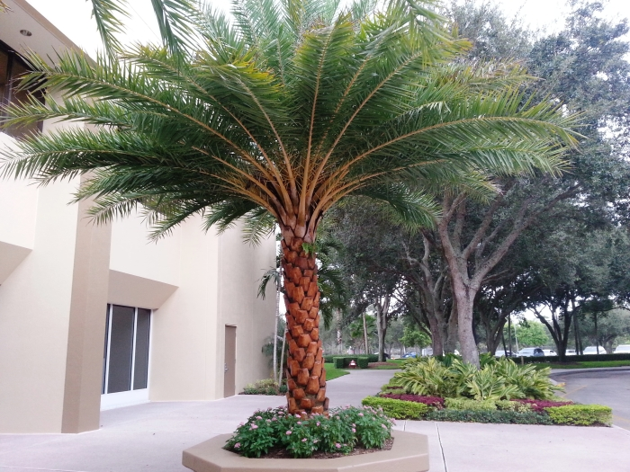 Sylvester Palm For Sale Mulch Masters Jacksonville Fl