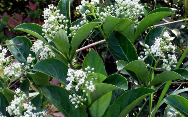viburnum suspensum for sale mulch masters jacksonville fl